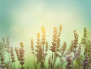 Lavender-Flowers-45571030
